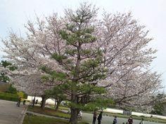 http://voyapon.com/fr/cerisiers-fleurs-sumpu-shizuoka/