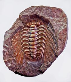 "Fossil Trilobite - Selenopeltis buchi - Species of this extinct genus could reach a length of 4.5-6.3"" (11.5-16.0 cm) and a width of 4.5-5.1"" (11.5-13.0 cm). It lived during the Ordovician (Arenig-Ashgillian) : 478.6 - 443.7 million years ago - Image : © Hectonichus / May 10, 2012"