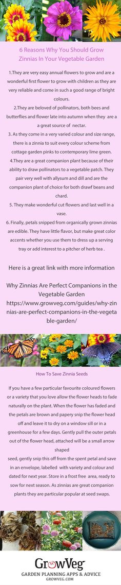 Zinnias are an easy annual to grow that pack a punch in the flower border with their zingy colours and upright habit.They are beloved of pollinators, both bees and butterflies and bring both into a vegetable garden.They are a great flower to sow with children. Here are two links to help you grow them in your patch https://www.growveg.com/plants/us-and-canada/how-to-grow-zinnia/  https://www.growveg.com/guides/why-zinnias-are-perfect-companions-in-the-vegetable-garden/