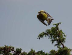 Unterwegs auf dem Rundweg Darßer Ort im Nationalpark Vorpommersche Boddenlandschaft | Auf dem Sprung – Grünfink am Darßer Ort (c) FRank Koebsch