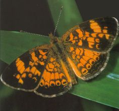 The lovely tawny-orange Pearl Crescent is our most widespread and abundant crescent. It is seasonally variable, and spring and fall individuals are darker and more heavily patterned on the ventral hindwings. It is an opportunistic breeder, continually producing new generations as long as favorable conditions allow. It has a rapid, erratic flight. Males perch on low vegetation with wings outstretched and frequently patrol for females. Freshly emerged males often gather at moist ground.