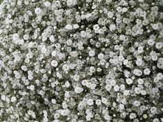 Free to use texture/background Babys Breath Flowers, Lash Room, Textured Background, Pure Products, Plants, Harrison Ford, Baby's Breath, Student, History