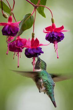 Ruby-Throated Hummingbird by Igor Kovalenko - Photo 153086035 - 500px