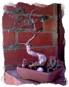 Japanese Elm Bonsai Tree!