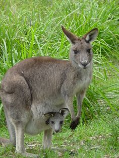 "Mom Kangaroo ~ With Her ""Joey"" in The Pouch ~ Australia."