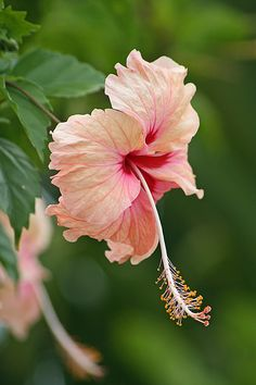 Peach Hibiscus These lovely blossoms come later in the season and soften summer in our garden.