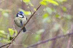 Blue Tit by ChrisA