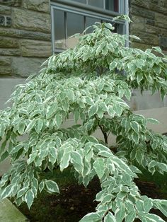 Cornus kousa 'Wolf Eyes' is considered by many to be one of the best variegated forms of kousa dogwood. 'Wolf Eyes' has a shrubby, broad-spreading habit.