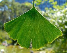 Ginkgo Biloba Leaf - my favorite leaf; especially in the fall!