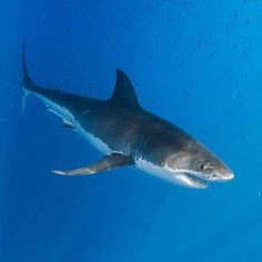 Legend, a male great white shark, begins a descent to deeper water. Photography…