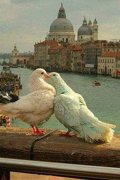 Pigeon love in Venice Love Birds, Beautiful Birds, Beautiful World, Animals Beautiful, Beautiful Places, Romantic Animals, Beautiful Pictures, Animals And Pets, Cute Animals