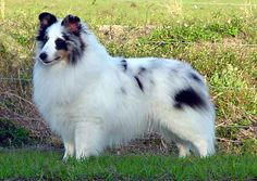 Sheltie. He may be a double blue or a white. So pretty!