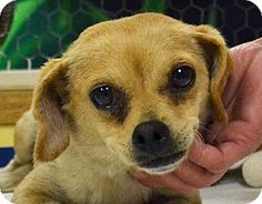 *** GREAT NEWS! *** I'VE BEEN ADOPTED!!!  Searcy, AR - Chihuahua Mix. Meet Pam, a dog for adoption. http://www.adoptapet.com/pet/11191976-searcy-arkansas-chihuahua-mix