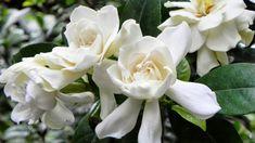 The 16 best me garden gardenias images on pinterest gardenias troubleshooting gardenias how to stop them from turning yellow mightylinksfo