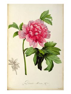 Mountain Peony Art, Redoute Flower Print Century Botanical Art, Red Flower) No. I would love to have a tattoo of this but only if it looked this realistic Vintage Botanical Prints, Botanical Drawings, Vintage Prints, Vintage Graphic, Arte Floral, Botanical Flowers, Botanical Art, Illustration Botanique, Illustration Art