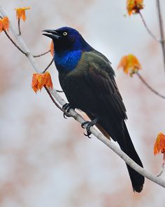 Common Grackle by Tony Beck. I saw this for the first time on the deck today. A large bird, I would have thought it was a crow except for the iridescent blue head.