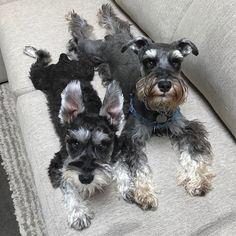 "607 Likes, 14 Comments - Buster & Bolter (@buster40k) on Instagram: ""BOLTER ""See, I'm still longer den Paw'ker."" #winning #thoseearstho #miniatureschnauzers…"""