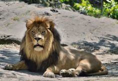 """Photo """"Thelion"""" by dhawk15"""