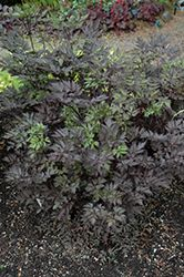 Click to view full-size photo of Black Negligee Bugbane (Cimicifuga racemosa 'Black Negligee') at Oakland Nurseries Inc