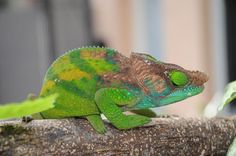 Antimena and others - Chameleon Forums
