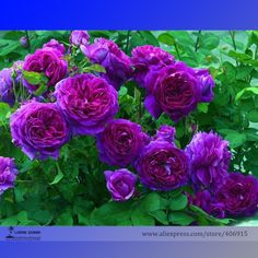 donker paarse roos - Google zoeken