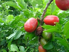 fruta nativa
