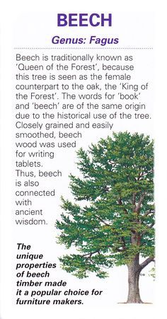 Sacred celtic tree Beech