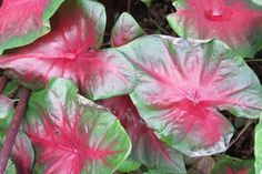 REd-bellied tree frog caladium Tropical Plants, Tropical Gardens, Elephant Ears, Tree Frogs, Types Of Plants, Plant Leaves, Hungary, Bulbs, Flowers