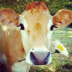 I just love Jersey cows and one day I hope to have a property big enough that I can have a couple, along with my dogs, chickens, horse and any other animals I adopt :)