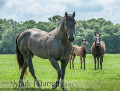 Quarter Horse stallion with mare and foal