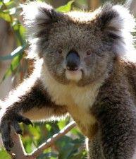 Koala nella natura, Phillip Island, Victoria | Australia