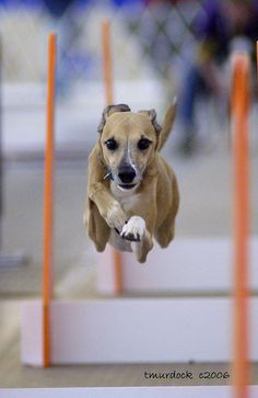 Whippet doing flyball. Nobody tell my dog about flyball- I am pretty sure he would demand we compete...