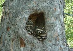 Raccoons In A Tree - Cute Animal Picture