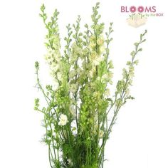 Wholesale Larkspur White - Blooms by the Box