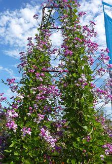 "Dipogon lignosus ""Cape Sweet Pea"" vine… smells like grape soda Sweet Pea Flowers, Wild Flowers, Landscaping Plants, Garden Plants, Wicken, Pea Trellis, Bean Varieties, Compost Soil, Climbing Vines"