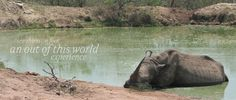 Watch white rhino wallowing the the water. African Holidays, Game Reserve, Out Of This World, Where To Go, Safari, Beautiful Places, Wildlife, Elephant, Stone