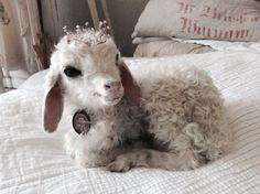Traumhaftes weißes lämmchenLittle lambtaxidermy von Chambredecoeur