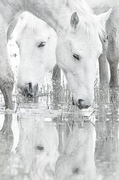 beautiful horses, black and white All The Pretty Horses, Beautiful Horses, Animals Beautiful, Animals And Pets, Cute Animals, Majestic Horse, White Horses, Horse Photos, Horse Photography