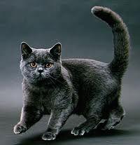 ショートヘア猫 写真,  ショートヘア猫