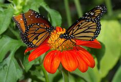 A Queen Butterfly And A Monarch Butterfly Feeding On A Mexican Sunflower Their Favorite Food.