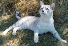 blue mink bengal!! looks like a mini white tiger