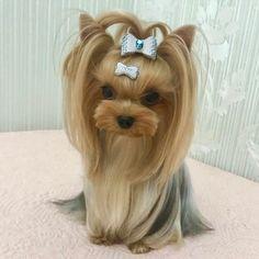 Dog Hair Bows, Cat Hair, Princess Hairstyles, Yorkie Puppy, Cute Dogs, Yorkie Hairstyles, Baby Pets, Dog Haircuts, Hair Cuts