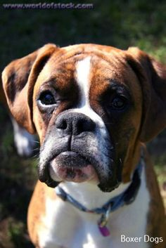 Aww cute Boxer, look at that lower lip! Boxer Puppies, Toy Puppies, Dogs And Puppies, Doggies, Boxer And Baby, Boxer Love, Dog Love, Funny Dogs, Cute Dogs