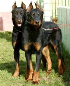 Dogs Beaucerons Sharing is caring, don't forget to share ! Animal Magazines, Pitbull, Rare Dogs, Real Dog, Herding Dogs, Wild Dogs, Dogs And Puppies, Doggies, Border Collie