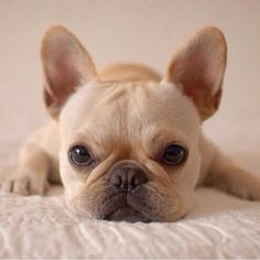The major breeds of bulldogs are English bulldog, American bulldog, and French bulldog. The bulldog has a broad shoulder which matches with the head. Cute Puppies, Cute Dogs, Dogs And Puppies, Doggies, Terrier Puppies, Corgi Puppies, Bull Terriers, Boston Terrier, Toy Dogs