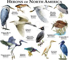 Herons of North America by rogerdhall on DeviantArt