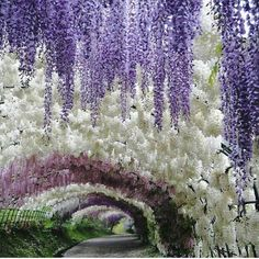 The wisteria tunnels are located in the Kawachi Fuji Gardens in Kitakyushu, Japan, six hours outside of Tokyo If you love the Cherry Blossom Festival, you'll want to make this trip Beautiful World, Beautiful Places, Places To Travel, Places To Go, How To Attract Hummingbirds, Japan Travel, Japan Trip, Japan Japan, Dream Vacations
