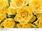 Photo about Bouquet of yellow roses for background. Image of bunch, anniversary, celebrate - 3657198 Love Wallpaper, Yellow Roses, Free Photos, Royalty Free Stock Photos, Bouquet, Flowers, Plants, Image, Vibrant