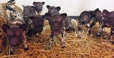 """Cincinnati Zoo & Botanical Garden keepers recently selected some """"cheesy"""" names for their African Painted Dog pups. The puppy cheese tray was born October 16 to mom Imara and dad Kwasi. Learn the pups cheese-tastic names at ZooBorns! http://www.zooborns.com/zooborns/2016/12/cincinnati-zoo-botanical-garden-keepers-recently-selected-some-cheesy-names-for-their-african-painted-dog-pups-the.html"""
