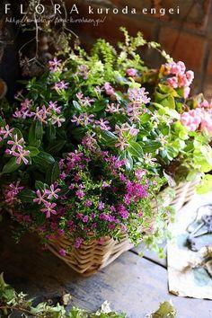 小さいニチニチソウ'ミニナツ カザグルマピンク' を使って。。。 |フローラのガーデニング・園芸作業日記